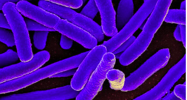 batteri intestinali